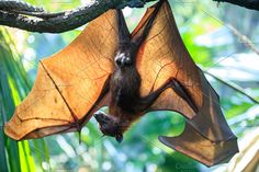 Wild animal in nature Photos Huge Flying Fox bat sleeping upside down on tree branch in natural environment by sweet spot