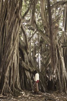 Amaaaazing Banyan tree captured by Vintage Mavens (via #spinpicks)