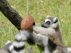 Ring-tailed Lemurs, Kecskemét Zoo, Hungary, Photo and enrichment: Dorottya Major zoo keeper. Freya eats raisin from coconut.