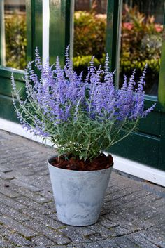 Russian Sage Perovskia atriplicifolia Lacey Blue from Growing Colors Russian sage is a leggy plant, but provides a nice contrast for shorter daylilies. Exotic Flowers, Large Flowers, Blue Flowers, Perennial Flowering Plants, Perennials, Landscaping Plants, Garden Plants, Potted Plants, Container Plants