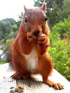#cute #squirrel #ekorn #birdfeeder #Kjøra #Norway Clever squirrel stealing food from a hopper bird feeder.