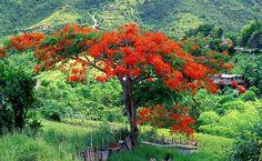 Flamboyan tree in El Yunque Puerto Rico