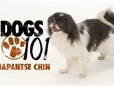 Japanese Chin - Chin in Japanese means royalty... no wonder.
