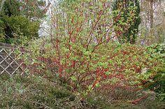 Bildresultat för buske med röda grenar