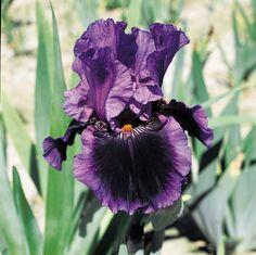 "*'Pagan Dance' Tall Bearded Iris 30"" blooms early-mid season + rebloom (Schreiner's Iris Gardens)"