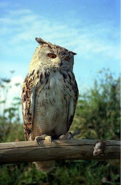Welcome to Animal Cognizance: owl