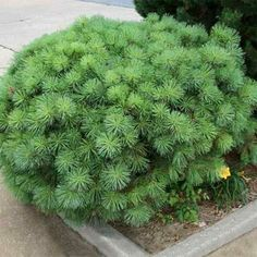 A lovely front-yard plant, Dwarf Scots Pine (Pinus sylvestris 'Nana') is a slow-growing evergreen with flaky red-brown or purple-gray bark with blue-green or yellow-green needles. Grows up to 12 feet tall and 22 feet wide in zones 3 to 7. | Photo: mobot.org | thisoldhouse.com