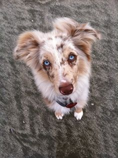 Four and a half month old Finley!!! Red merle Mini Aussie puppy