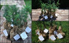 Tree plant favors - Wedding favors - Plante marturii nunta, botez - Specie: Molid www.dreamgardens.ro