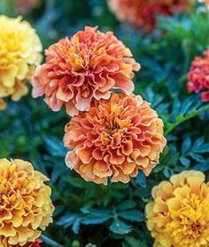 'Strawberry Blonde' Marigold - A breakthrough French marigold with a floriferous rush of bicolor pastel pink, rose, and yellow blooms. Available only at http://www.burpee.com/flowers/marigolds/marigold-strawberry-blonde-prod100031.html