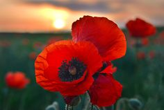"""""""Together to the dawn"""" #poppies at sunrise in summer countryside"""
