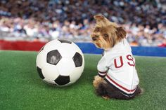 Would you like to play soccer with me? Yorkie, Yorkshire Terrier, Dog