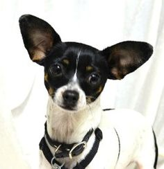 Lucky Trevor is an adoptable Toy Fox Terrier Dog in Simi Valley, CA. ~~~ Weight: TBD ~~~ Approximate Birth date: TBD ~~~ Energy level: Medium   Lucky Trevor was lucky indeed when TLC came to his res...