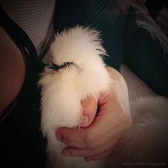 My big baby :) #cuddles #chickens #animalsofinstagram #sofluffyicantstandit #BijouxChix #SimplyNouvelle