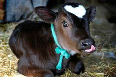 hearts in nature | This cow, with a heart-shaped spot on his head, won the hearts of many ...