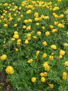 Tarhakullero - Trollius Cultorum -ryhmä Plants, Outdoor