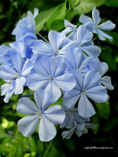 Plumbago - host and nectar plant
