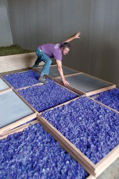 Séchage des fleurs de bleuet au séchoir de La Gacilly.