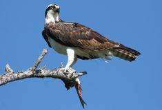 Osprey에 대한 이미지 결과