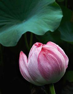 How the lotus flower symbolizes compassion courage mindfulness how the lotus flower symbolizes compassion courage mindfulness peace wisdom flowers pinterest lotus flower lotus and peace mightylinksfo