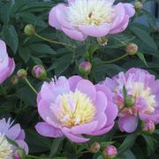Peonies are popular perennials featuring large, fragrant blooms. While they may thrive in one spot for many years, sometimes there are reasons to transplant them to a different location.