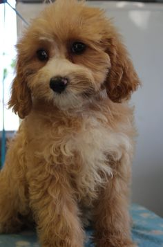 Red and white cavoodle puppy just 4 weeks old.