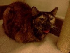 Boots (female, 6 yrs) is a short haired Tortie who was brought in with her best friend Ginger. Boots is a beautiful and sweet thing. Their person passed away so they are looking for a Forever Home.