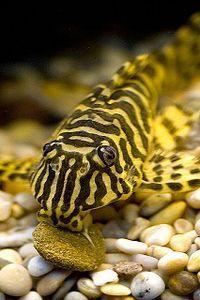 Leopard Frog Pleco Peckoltia Zahlt Frog Leopard Peckoltia Pleco Zahlt Aquarienfische Aquarium Fische Welse