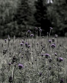 © Joanna Ulfsdotter Photography Dandelion, Flowers, Plants, Photography, Photograph, Dandelions, Fotografie, Photoshoot, Plant