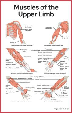 Arm Muscle Diagram Muscles Of The Rotator Cuff Human Anatomy And Physiology Lab Bsb Arm Muscle Diagram Arm Muscles Anatomy Mac Wallpapers. Forearm Muscle Anatomy, Body Muscle Anatomy, Forearm Muscles, Human Body Anatomy, Yoga Anatomy, Human Anatomy And Physiology, Gross Anatomy, Muscles Of The Body, Muscles Of Upper Limb