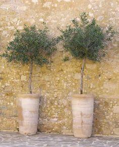 a little standard Olive tree in a lovely pot Potted Olive Tree, Potted Trees, Trees To Plant, Back Gardens, Small Gardens, Landscape Design, Garden Design, Christmas Tree Forest, Citrus Trees