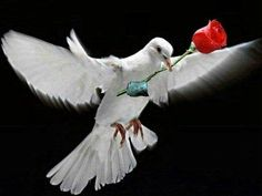 White dove with red rose