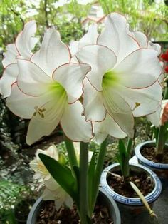 Original pinner - Hi All, It's my first time planting Amaryllis. I'd like to share my Amaryllis blooming! Exotic Flowers, Amazing Flowers, My Flower, White Flowers, Beautiful Flowers, Simply Beautiful, Trees To Plant, Houseplants, Garden Plants