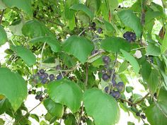 Merriwether's Guide to Edible Plants in Texas and the Southwest...Foraging Texas