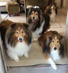 Shelties are so beautiful, sweet and obedient.