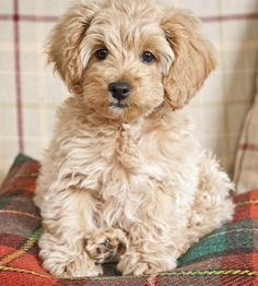 """F1b Cocakpoodle (father was miniature poodle so some pups don't turn out too """"poodly."""""""
