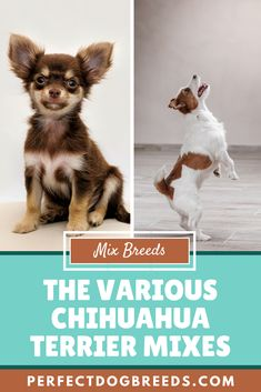 The Chihuahua Terrier Mix has many faces, comes in different shapes and sizes and each mix has a different personality. With nothing being truly predictable about these mixes, keep reading to learn more about the small and adorable Chihuahua Terrier.  #chihuahuaterrier #chihuahuaterriermix #chihuahuamix