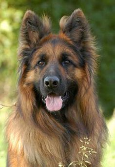 Pax from Chika's yard-Pax van Chika's erf Pax from Chika's yard - Cute Dogs And Puppies, Big Dogs, I Love Dogs, Doggies, Beautiful Dogs, Animals Beautiful, German Sheperd Dogs, German Shepherds, Berger Malinois