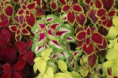 DEER RESISTANT, heat tolerant, loves shaded areas, but suitable for a variety of light conditions. Colors and patterns are beautiful. Will freeze back and sometimes return in spring. Usually annual plants in my region. Deer Resistant Shade Plants, Deer Resistant Annuals, Deer Proof Plants, Deer Resistant Flowers, Deer Resistant Garden, Shade Perennials, Flowers Perennials, Planting Flowers, Flowers Garden