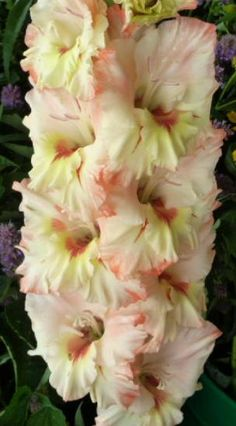 Happy Face Gladiolus