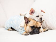 I thought when you said puppy sit you meant I get to sit on the puppy, not the other way around __ Ft. @itsauggiethedoggie __ Thank you so much to @daily_frenchie for the recent feature __