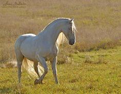 Andalusian horse - Андалузская