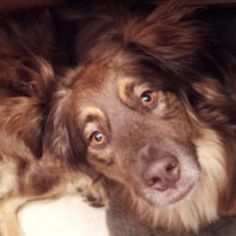 Bo is an adoptable Australian Shepherd, Golden Retriever Dog in Minnetonka, MN Hello! Let me try to stay still for a moment to introduce myself. My name is Bo, or Bo Bo as my ... ...Read more about me on @petfinder.com