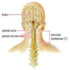 Cervical spondylosis is a form of arthritis that affects the neck. It is caused by degeneration of the cervical spine or the bones in the neck. Home Health Remedies, Natural Home Remedies, Natural Medicine, Herbal Medicine, Neck Arthritis, Rheumatoid Arthritis, Arthritis Remedies, Cervical Spondylosis, Physical Therapy