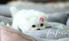 Micro Maltese, Teacup Maltese For Sale, Maltese Puppies For Sale, Teacup Puppies For Sale, Maltese Dogs, Teacup Dogs, Cute Little Animals, Cute Funny Animals, Cute Baby Horses