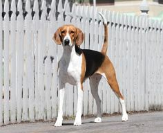 English American Foxhound Puppy Dog #Hunting Fox #Hound