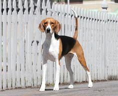 English American Foxhound Puppy Dog #Hunting Fox #Hound