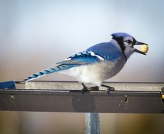 Blue Jay With A Mouth Full Wisconsin  (C) Copyright Ricky L.Jones Photography 1995-2015 All rights reserved