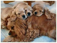 Cocker Spaniel puppies with their mom