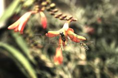 Picture of Two hoverflies gather on orange garden flower. stock photo, images and stock photography.